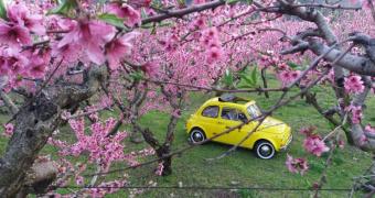 """Κλασικά αυτοκίνητα """"ποζάρουν"""" στις ανθισμένες ροδακινιές (φωτο)"""